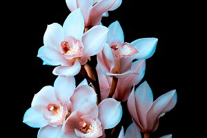 Orchid on black background . Minimal