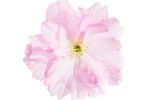 Pink sakura cherry flowers