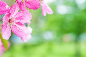 Blossom of pink sakura cherry flower