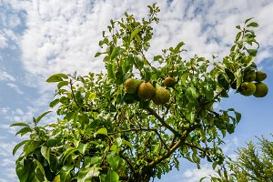 Pear tree,Tasty young pear hanging o