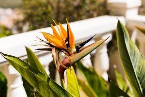Beautiful flower Strelitzia reginae