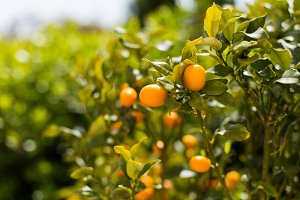 Kumquat fruits on the tree against