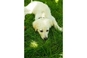 Cute white puppy resting on green