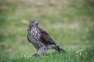 Hawk watching over its prey