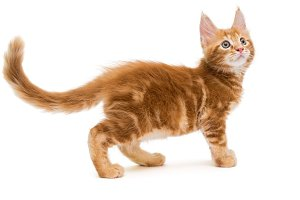 Small Maine Coon kitten