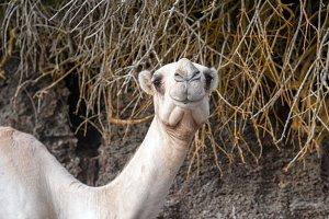 Close camel head