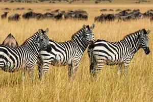 Zebra on grassland in Africa