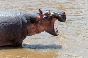 Hippo (Hippopotamus amphibius) in th