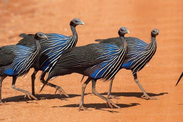 Animal Stock Photos - Acryllium vulturinum (Vulturine Guin
