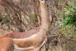 Gerenuk standing upright to reach le