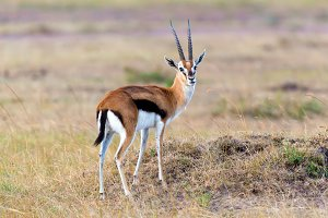 Thomson's gazelle on savanna