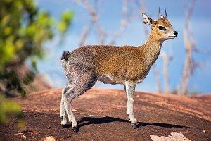 Klipspringer antelope portrait