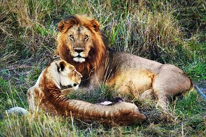 Lions couple on savanna, Africa