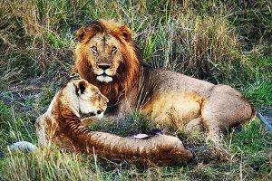 Lions couple on savanna, Africa