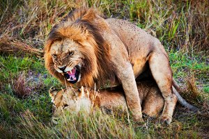 Lions couple during copulation
