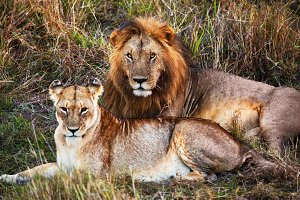 Lions couple lying on the grass