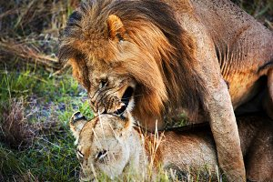 Lion couple during copulation
