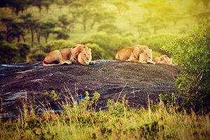Lions lying on rocks, Africa