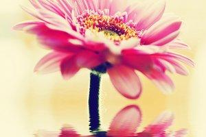 Pink gerbera flower. Vintage
