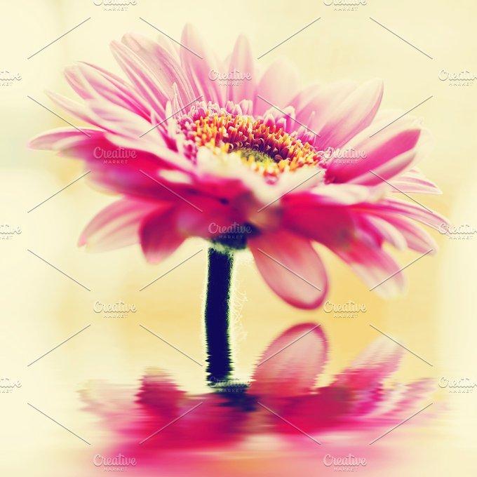 Pink gerbera flower. Vintage - Nature