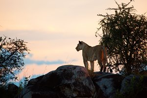 Lioness on the rock at sunset