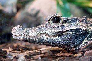 Crocodile profile portrait