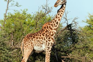 Giraffe on savanna, Africa