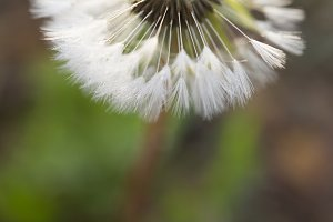 dreamy dandelion macro on light free