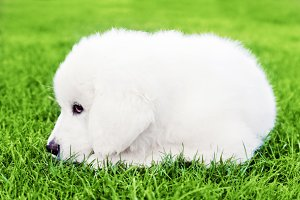 Cute white puppy dog lying on grass