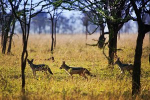Jackals group on african savanna