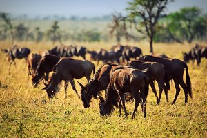 Wildebeests herd on african savanna