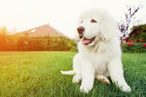 White puppy dog sitting on the grass