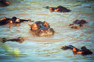 Hippopotamus group in river