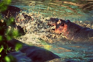 Hippopotamus fighting in river