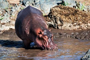 Hippopotamus walking to the river