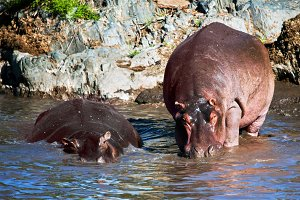 Two hippopotamus in the river