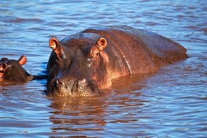 Hippopotamus in the river