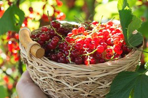 Basket of red currant