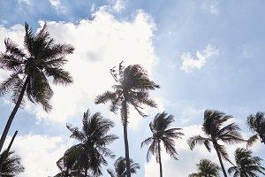 Coconut Palm Trees Summer Sunny Sky