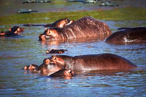 Hippopotamus group in the river