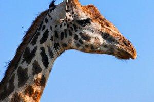 Giraffe portrait, Tanzania, Africa