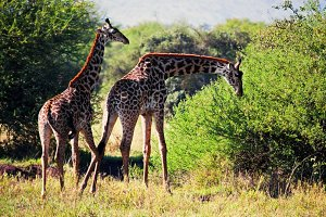 Two Giraffes on african savanna