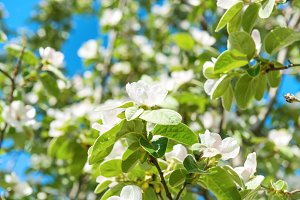 Blossom quince tree with white flowe