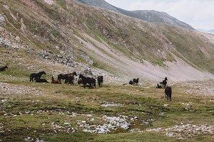 Horses in Mountains, Caucasus
