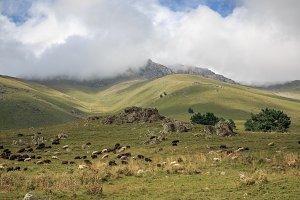 Sheep in Mountains, Caucasus