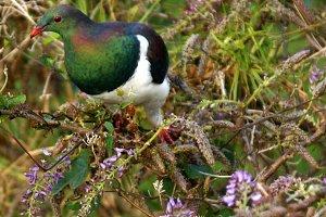New Zealand Wood Pigeon, Kereru