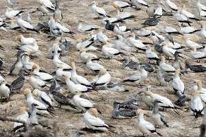 Gannet Colony at Muriwai Beach