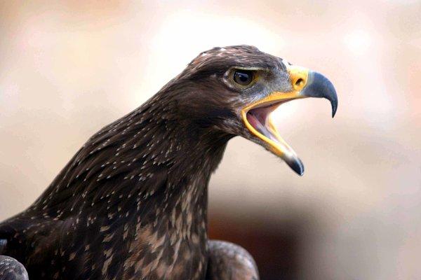 Stock Photos - Bird of prey calling