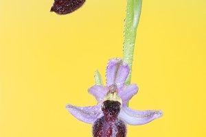 ophrys catalaunica.jpg