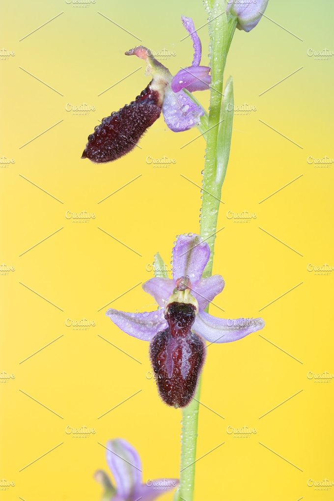 ophrys catalaunica.jpg - Nature